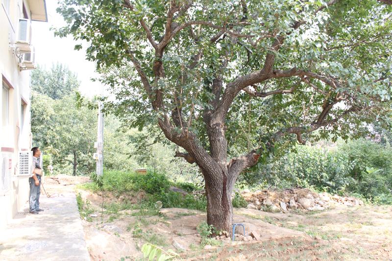 百年桑葚树